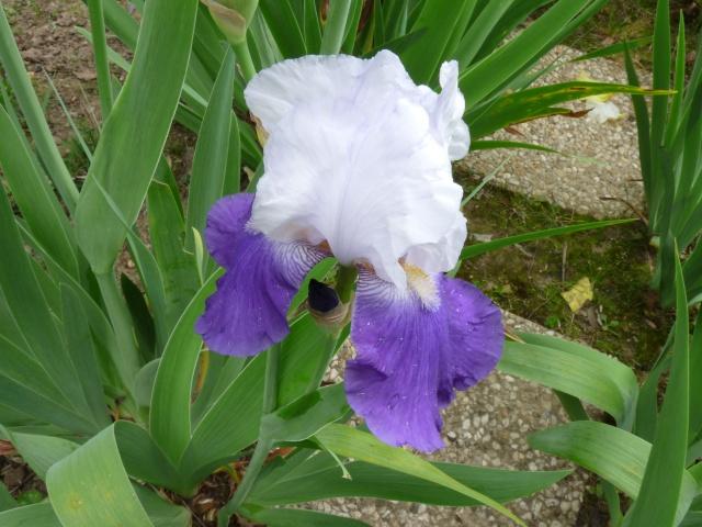 Floraisons 2016 de nos grands iris barbus et Bilan - Page 5 Loyc1510