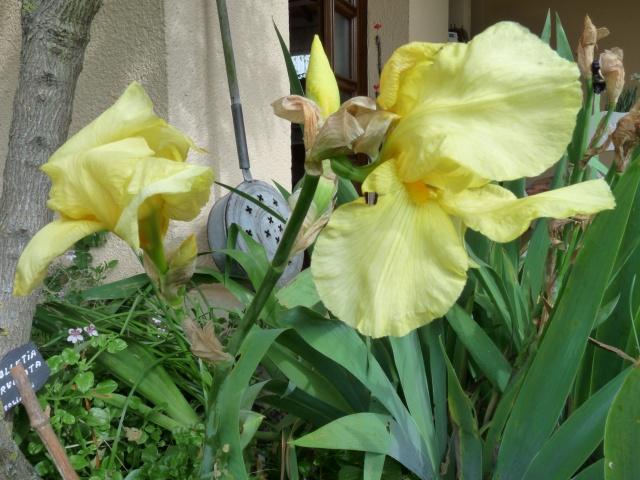 Floraisons 2016 de nos grands iris barbus et Bilan - Page 5 Loyc5_10