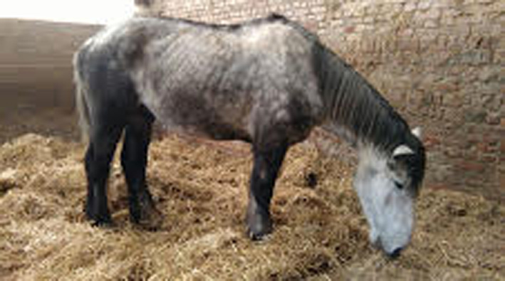 (60) ATHOS - Hongre Trait Percheron né en 2010 -  A ADOPTER (306 € + don libre) Athos_12