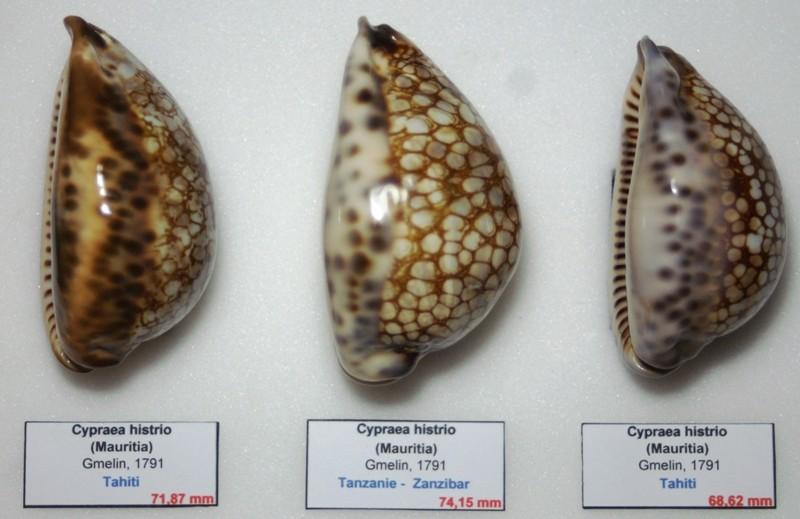 1 Cypraea_non_décrite (?), 2_Cypraea_histrio, 3_Mauritia_maculifera_scindata V4_gau10