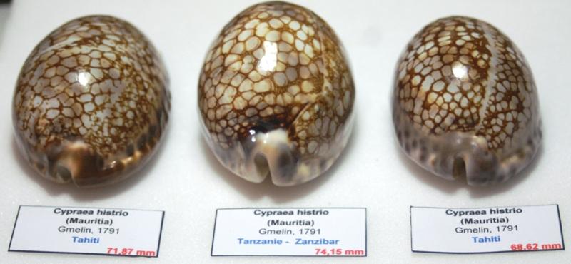 1 Cypraea_non_décrite (?), 2_Cypraea_histrio, 3_Mauritia_maculifera_scindata V6_arr10