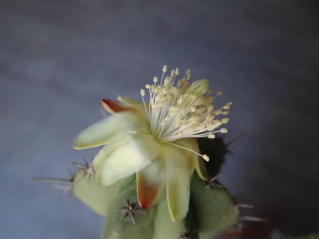 Polaskia chichipe Myrtil12