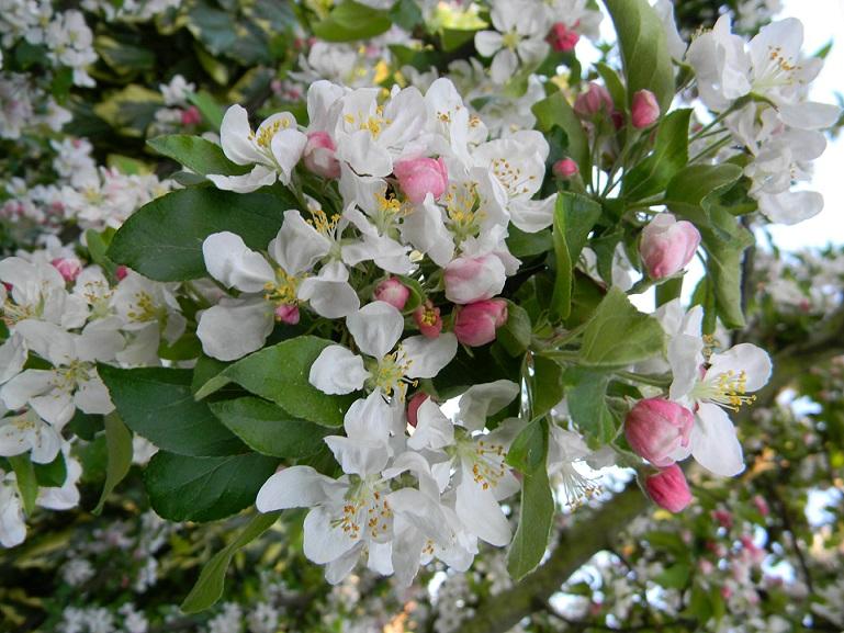 joli mois de mai, le jardin fait à son gré - Page 2 A811