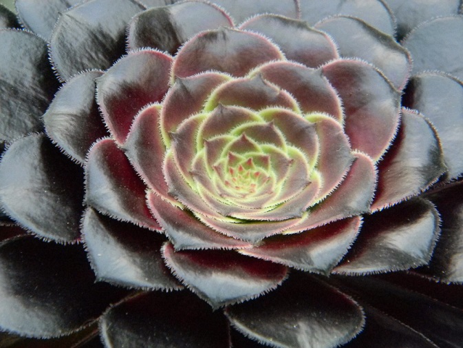 Aeonium party all the time :) Aeo10