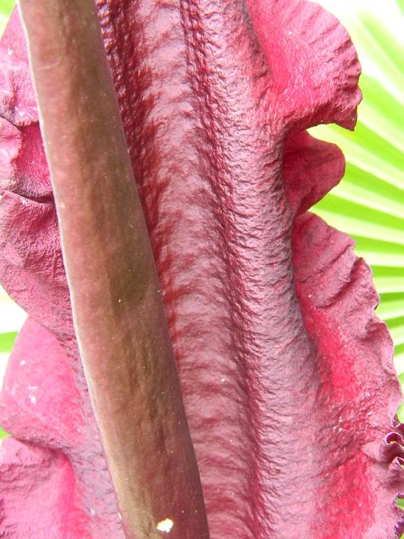 Dracunculus vulgaris - Page 7 Aru212