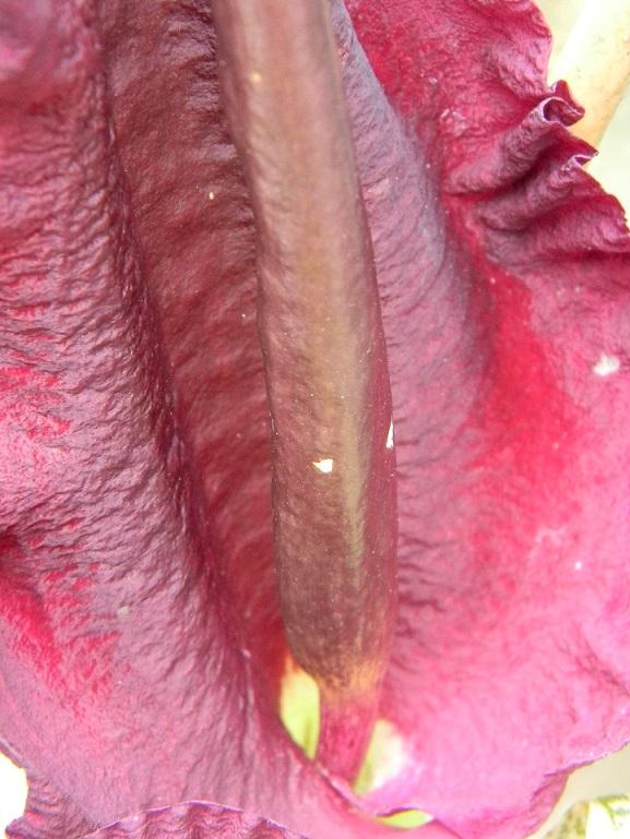 Dracunculus vulgaris - Page 7 Aru311
