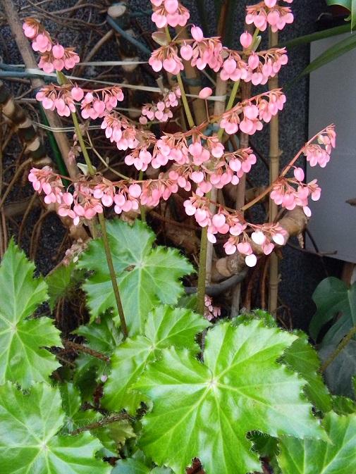 Begonia x ricinifolia  Beg10