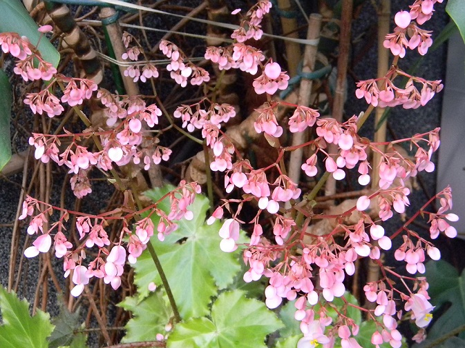 Begonia x ricinifolia  Beg110