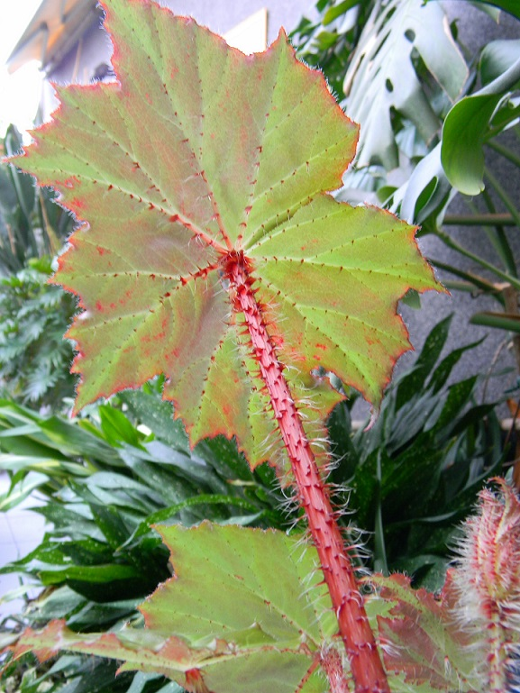 Begonia x ricinifolia  Beg111