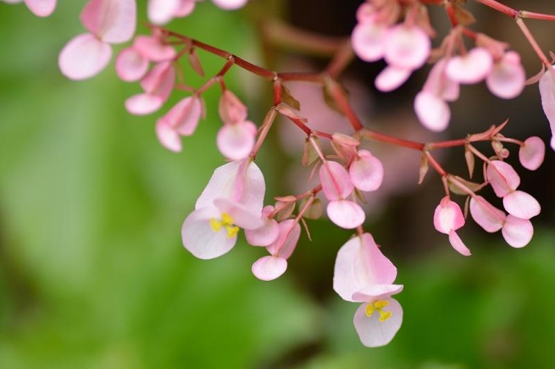 Begonia x ricinifolia  Beg210