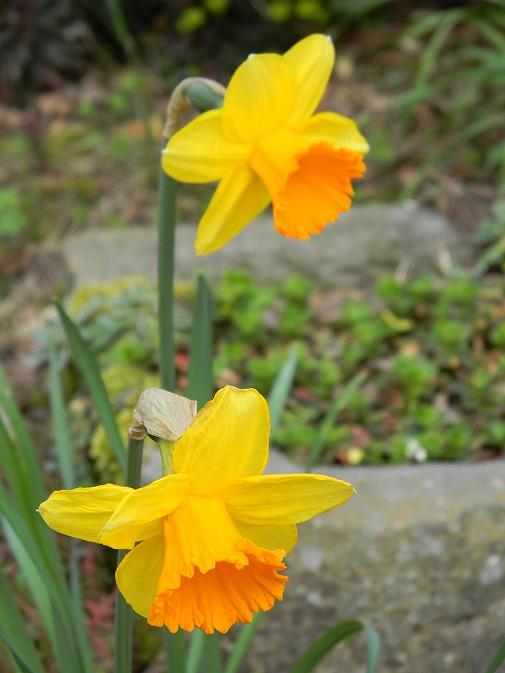avril, jardin fébrile Bulb510