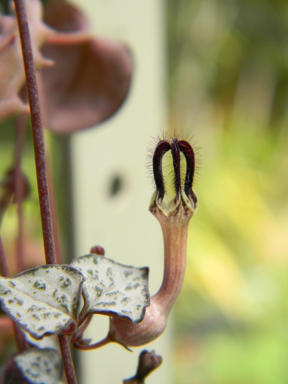 Ceropegia woodii Cerop10