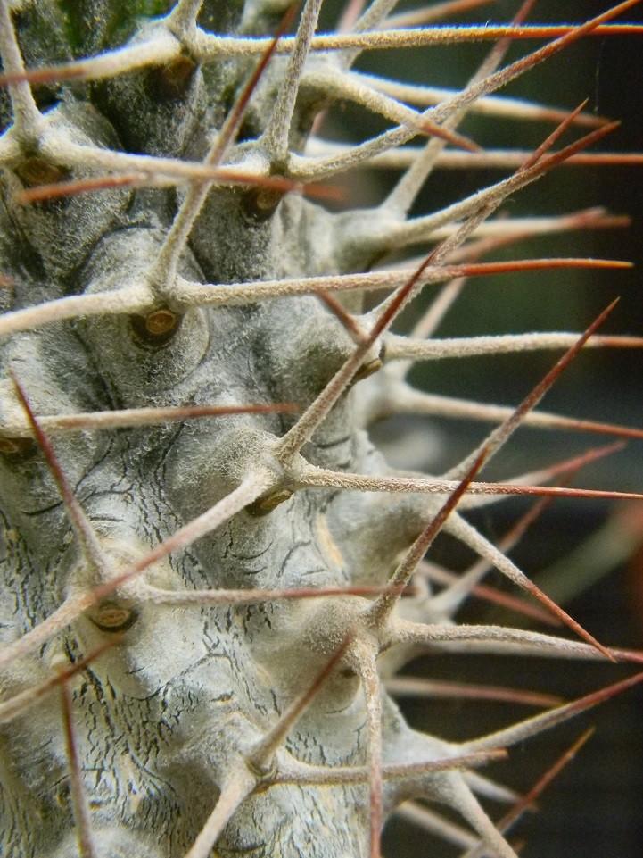 Pachypodium geayii Epi510