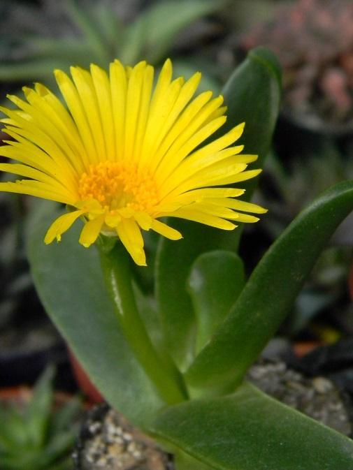 Glottiphylllum. G210