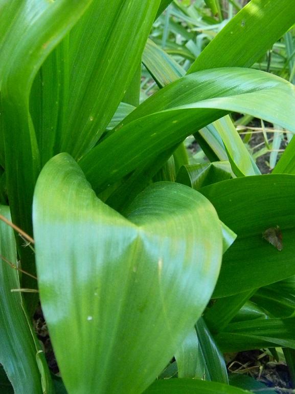 Fritillaria ? [identification non terminée] Inc110