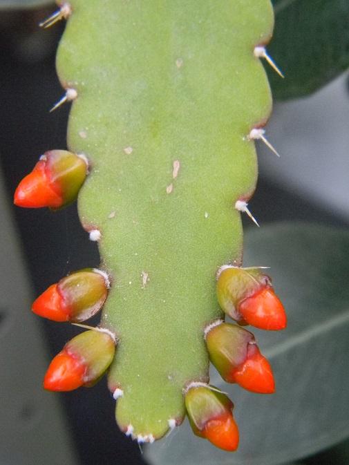 Rhipsalis monacantha (= Lepismium monacanthum = Pfeiffera monacantha)   Lepi11