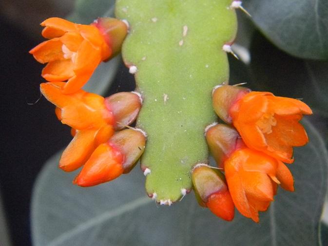 Rhipsalis monacantha (= Lepismium monacanthum = Pfeiffera monacantha)   Lepi111