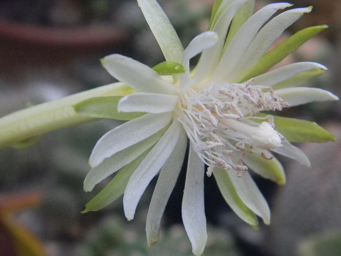 Epiphyllum  guatemalense f. monstruosa. M310