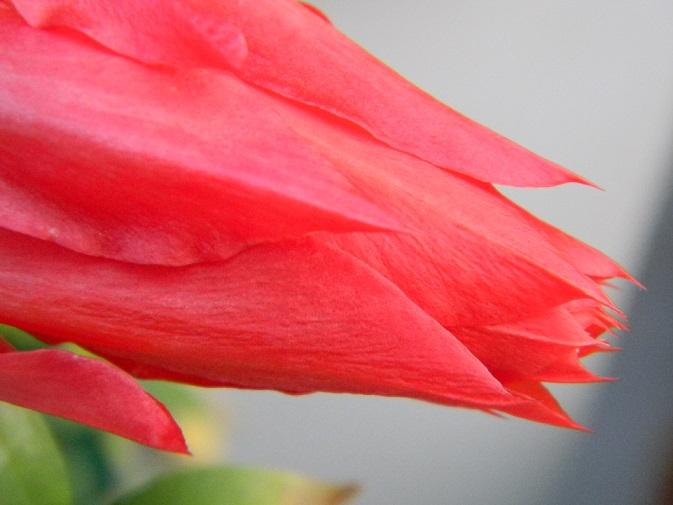 Epiphyllum - floraisons - Page 2 Or10