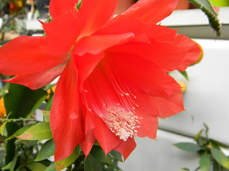 Epiphyllum - floraisons - Page 2 Or110