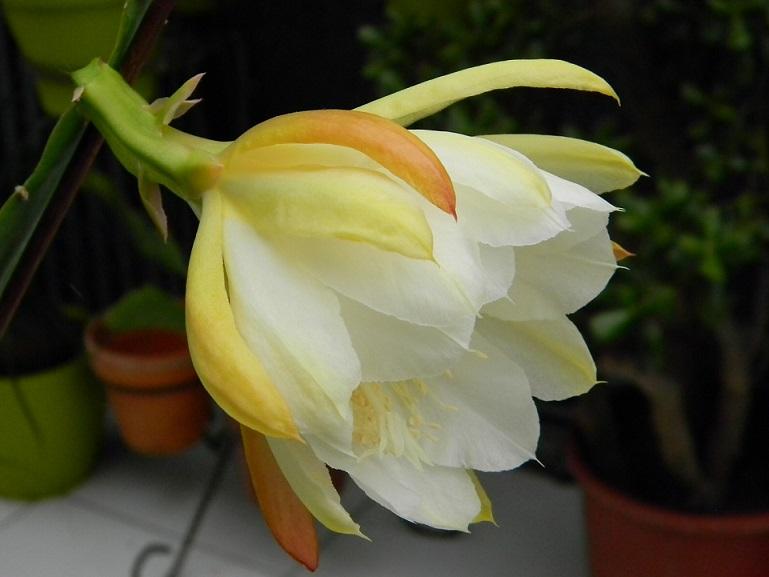 Epiphyllum - floraisons - Page 2 Or1213