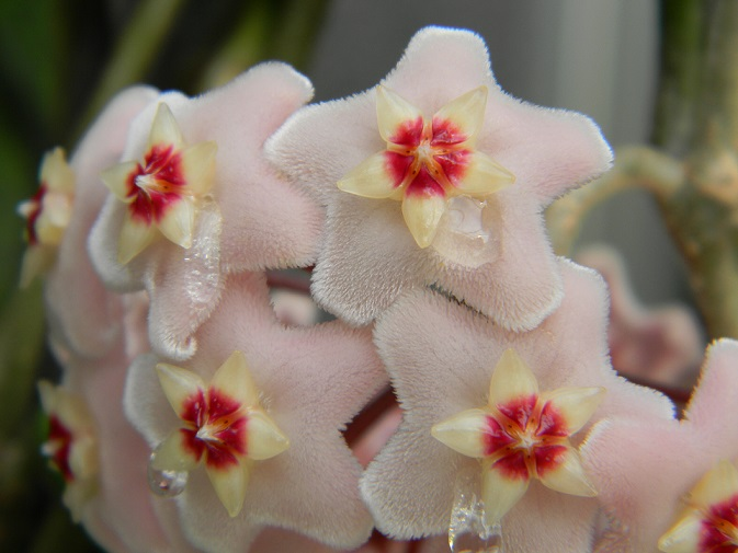Hoya carnosa Pg1410