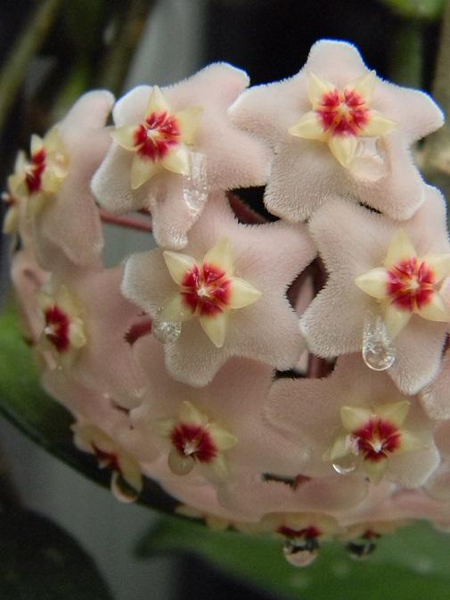 Hoya carnosa Pgr1110