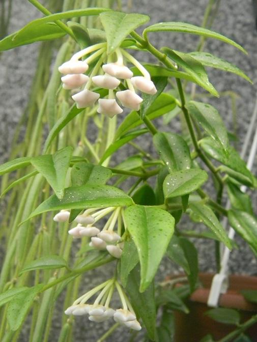 Hoya bella. Pgr1310