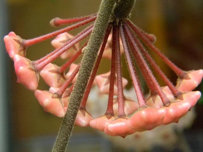 Hoya carnosa Pgr1410