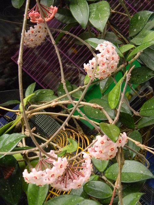 Hoya carnosa Pgr1510