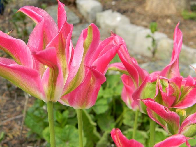avril, jardin fébrile - Page 7 Tul110