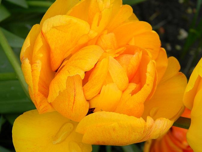 avril, jardin fébrile - Page 7 Tul510