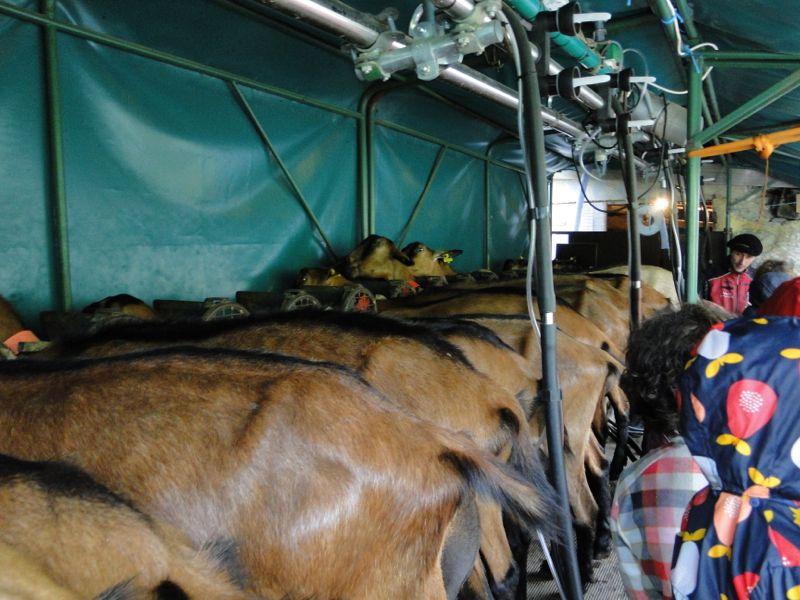 Pralognan (Vallon de Chavière): les chèvres de Chapendu Dsc03812