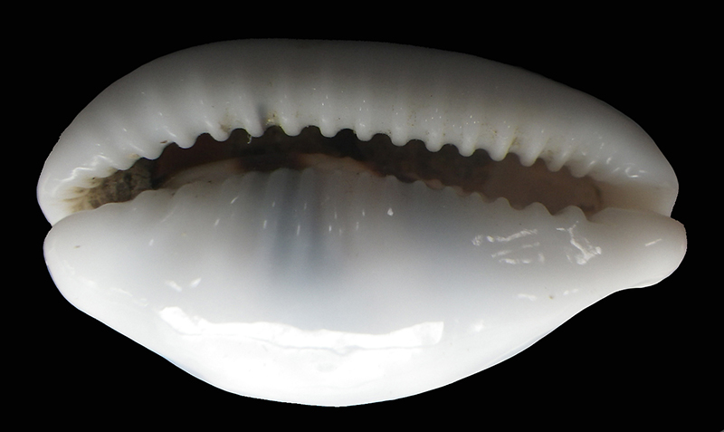 Palmadusta asellus vespacea - (Melvill, 1905) voir Palmadusta asellus asellus - (Linnaeus, 1758) 800img12