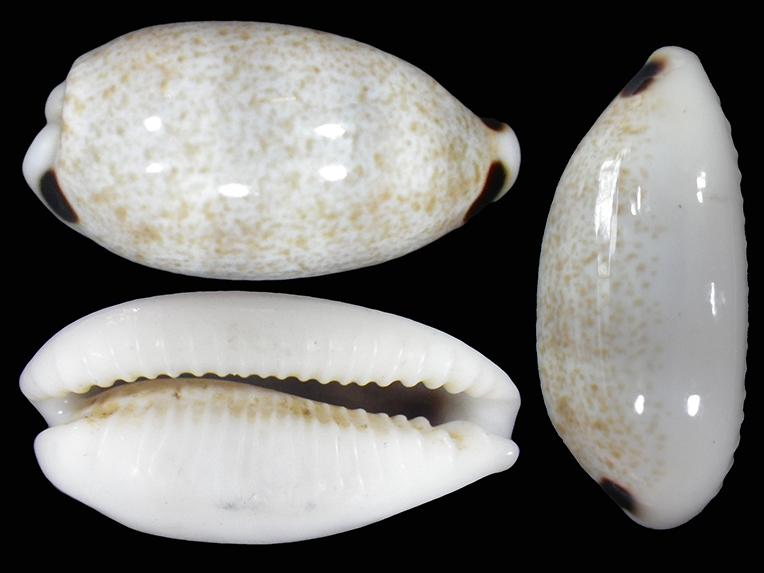 Eclogavena quadrimaculata - (J.E. Gray, 1824) Ecloga10