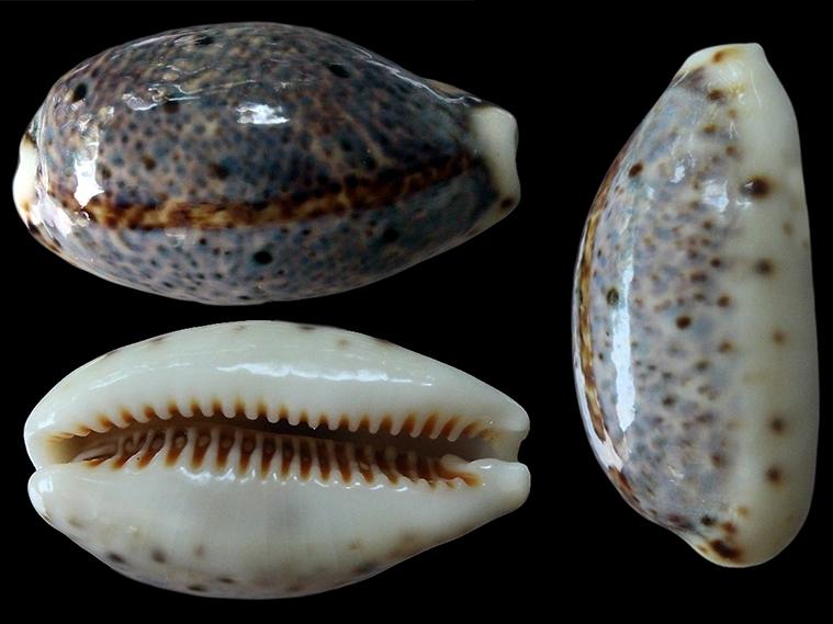 Lyncina lynx vanelli - (Linnaeus, 1758) = lynx juvénile Lyncin22