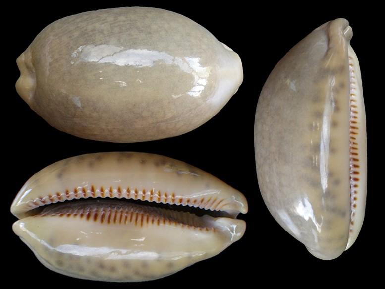 Mauritia eglantina griseoformis  -  (Duclos, 1833) Maurit16