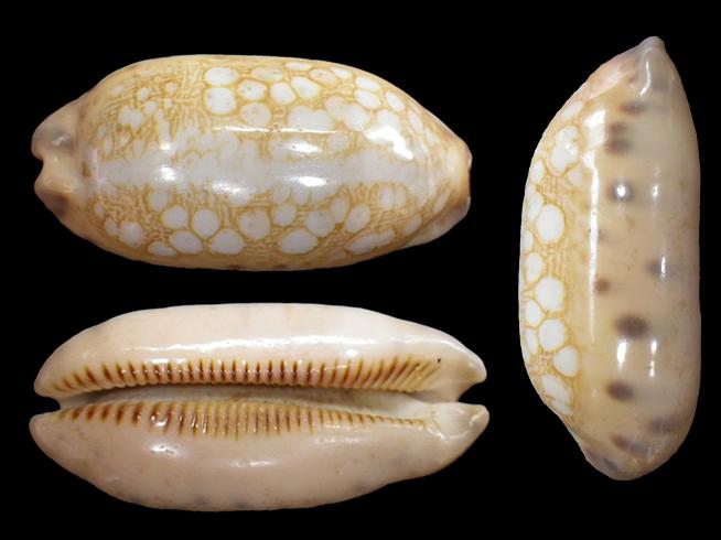 Mauritia scurra mundula - Lorenz, 2002  voir  Mauritia scurra scurra - (Gmelin, 1791) Maurit20