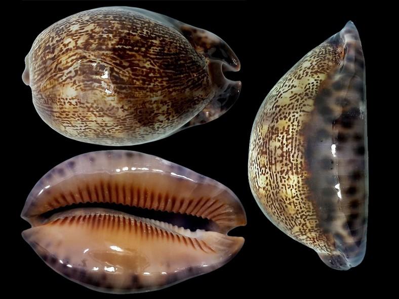 Mauritia arabica asiatica f. gibba  - Cohen, 1949  Maurit26