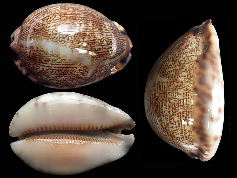 Mauritia arabica asiatica f. gibba  - Cohen, 1949  Maurit32