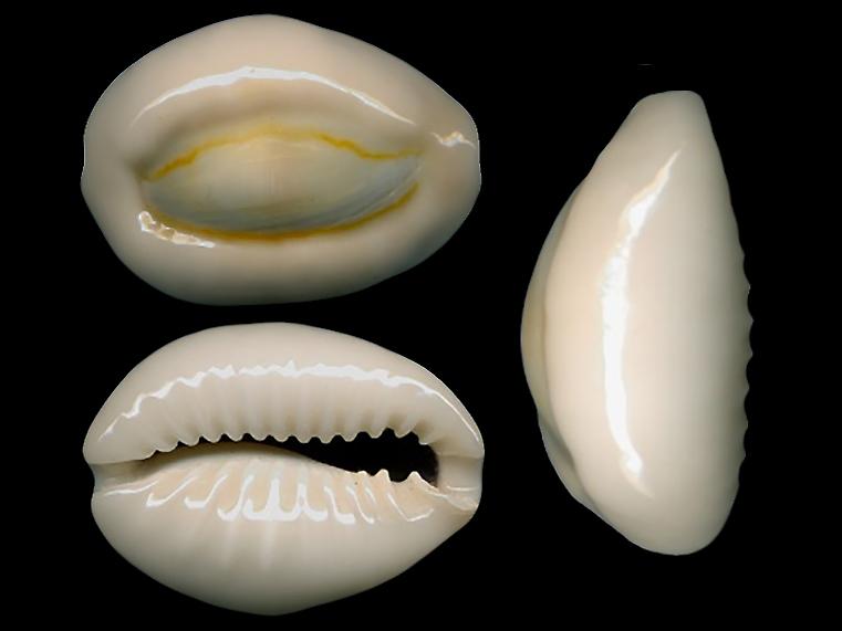 Monetaria obvelata - (Lamarck, 1810) Moneta16
