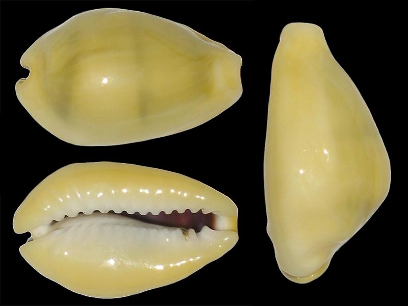 Monetaria icterina - Lamarck, 1810 voir Monetaria moneta - (Linnaeus, 1758) Moneta18