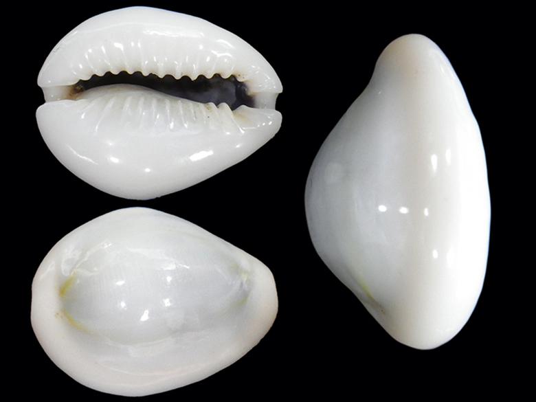 Monetaria annulus f. pura - (Vayssière, 1923) Moneta22