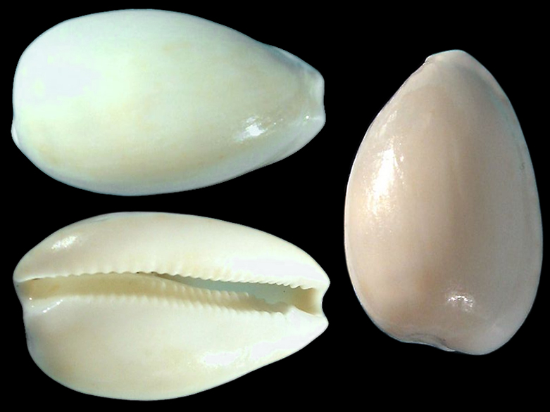 Notocypraea occidentalis - Iredale, 1935 Notocy15