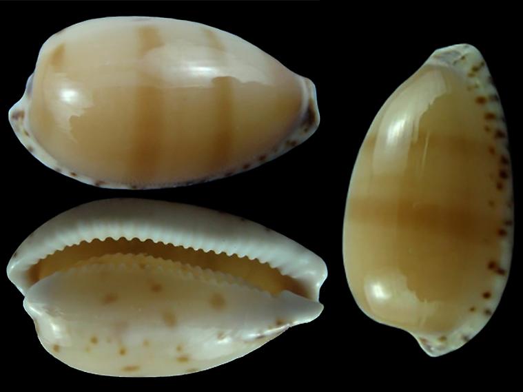 Notocypraea comptonii - (Gray, 1847) Notocy17