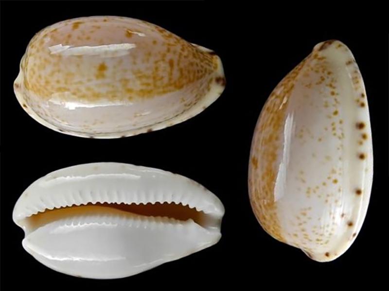 Notocypraea declivis - (G. B. Sowerby II, 1870)  Notocy18