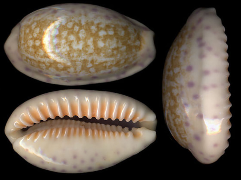 Ovatipsa chinensis - (Gmelin, 1791)  Ovatip11