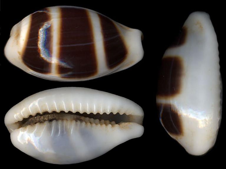 Palmadusta asellus - (Linnaeus, 1758) Palmad13