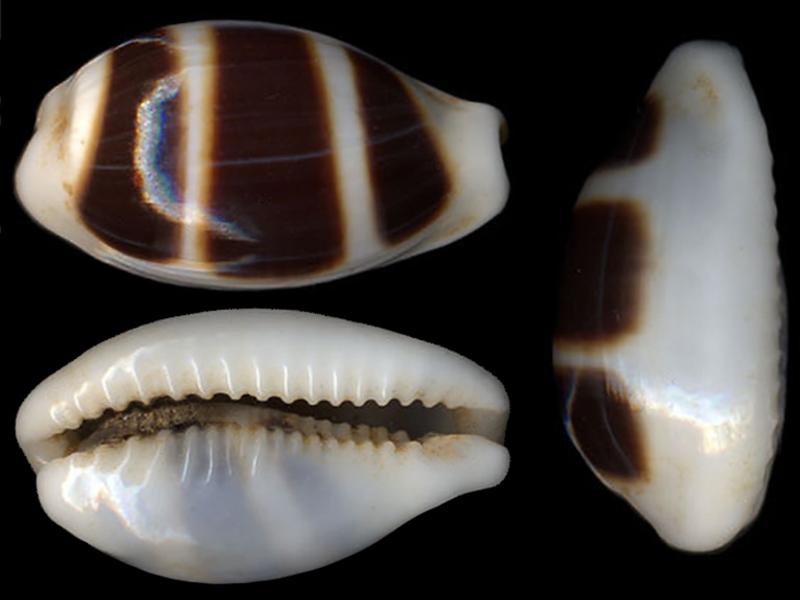 Palmadusta asellus armadillo- Bergonzoni, 2015 Palmad17