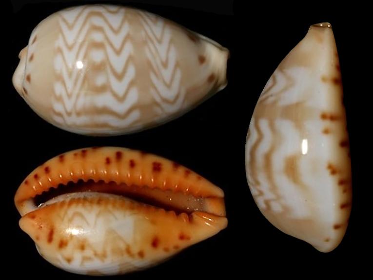 Palmadusta ziczac misella - (Perry, 1811) Palmad19